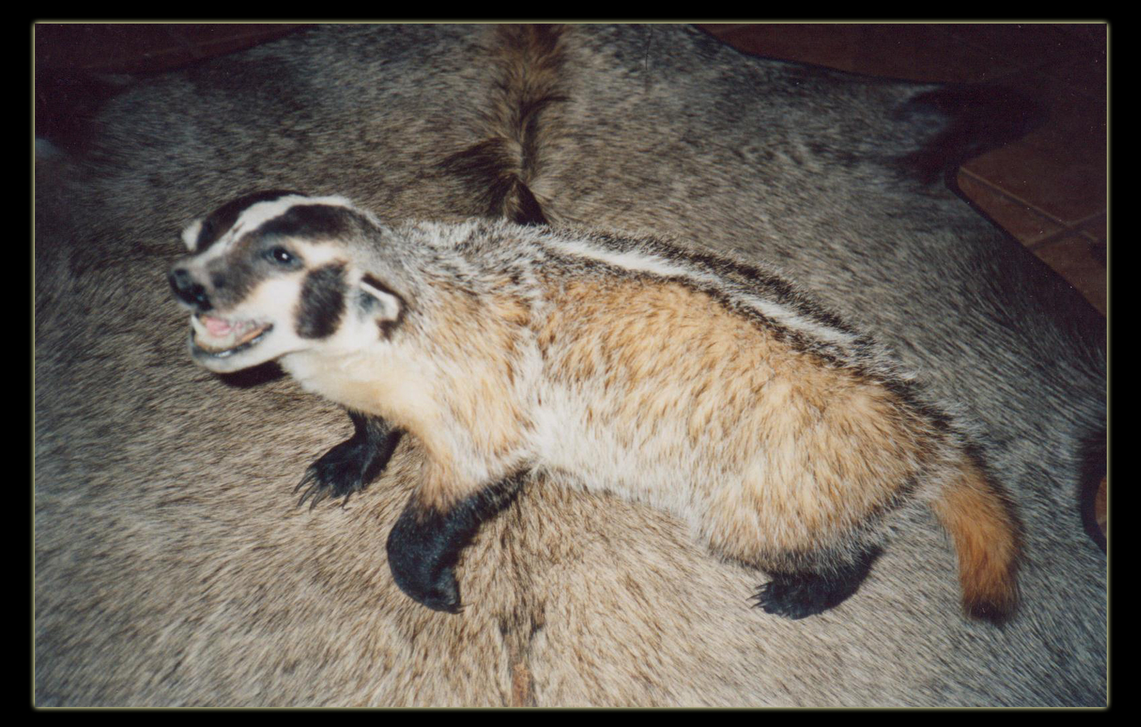 badger on rug
