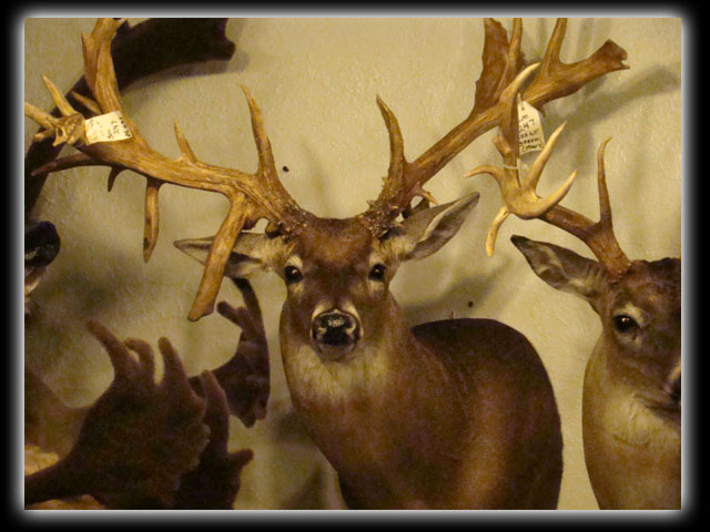 whitetail shoulder mount on wall