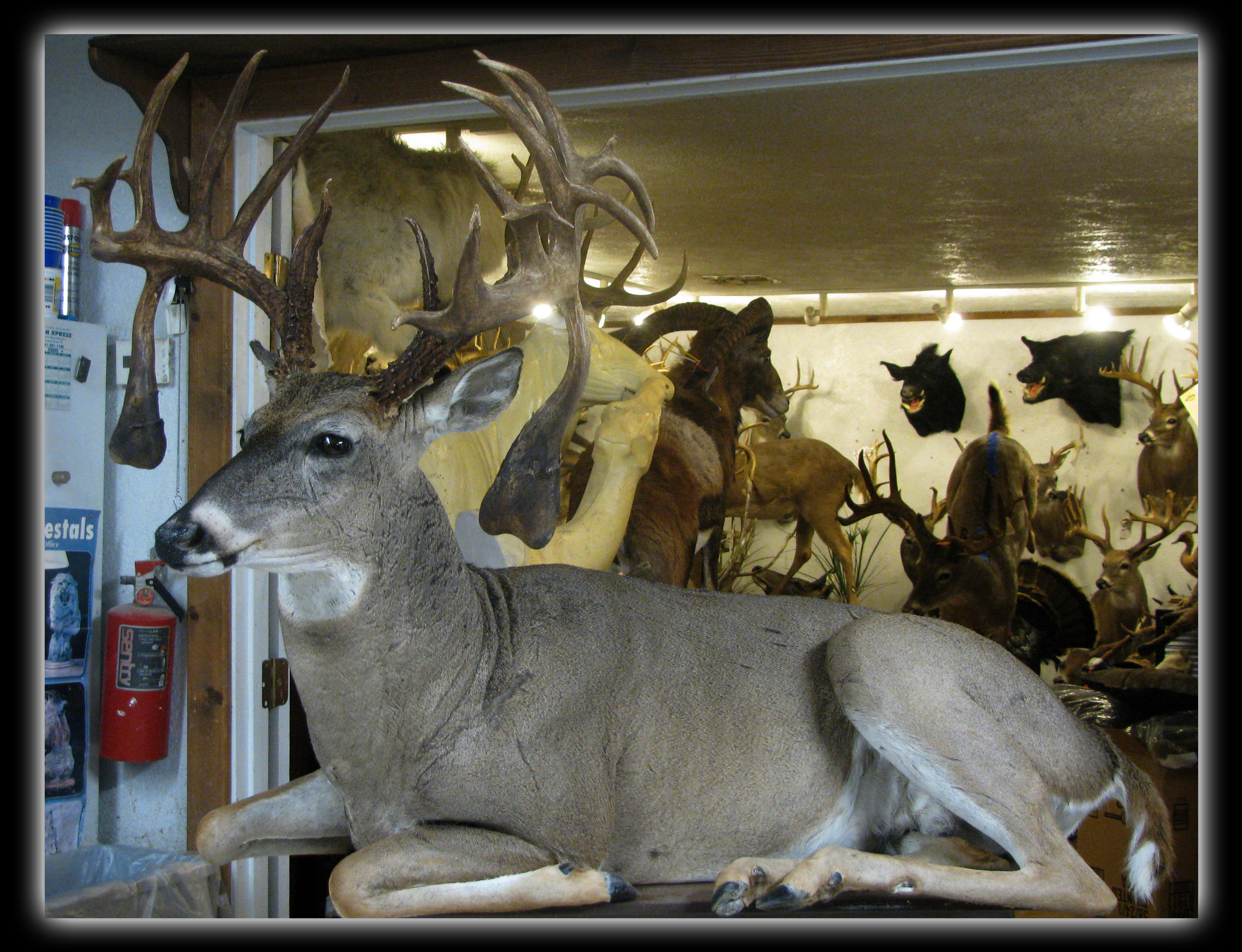 whitetail sitting lifesize