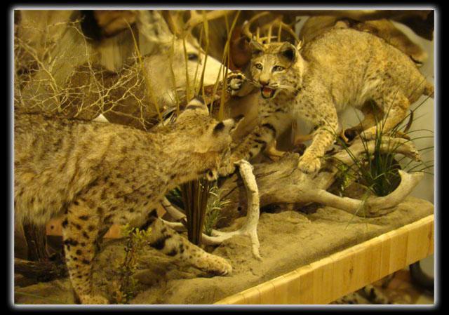 bobcats lifesize