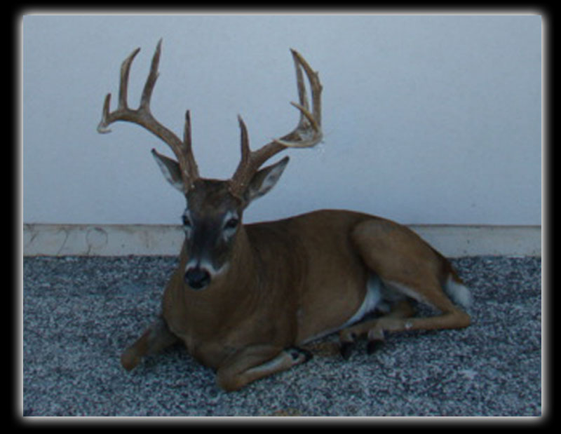 whitetail lifesize